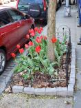 Tulips 2019 # 20 Sylvan Terrace