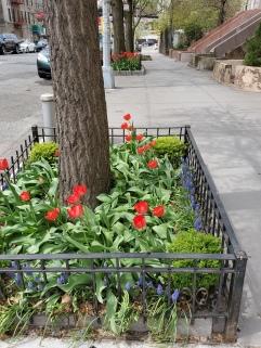 Tulips 2019 - 443 W. 162nd