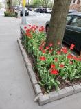 Tulips 2019 - W. 162nd